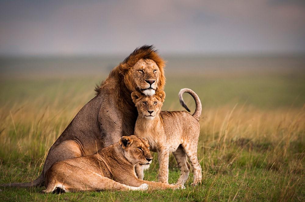Image source: https://www.google.ro/search?biw=1920&bih=925&tbm=isch&sa=1&ei=k56lWurYMsL8sQHDj7yYDw&q=lion+&oq=lion+&gs_l=psy-ab.3..0i67k1j0l4j0i67k1j0j0i67k1j0l2.3051.3051.0.3486.1.1.0.0.0.0.86.86.1.1.0....0...1c.1.64.psy-ab..0.1.85....0.J7aQ_WInm24#imgrc=gbVLC6S78TuePM: