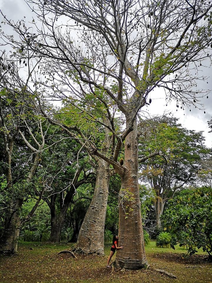 Baobab Gradina Botanica Mauritius